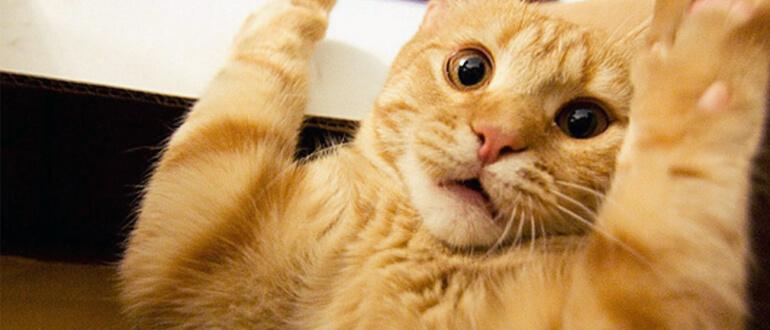 Как стричь когти кошкам