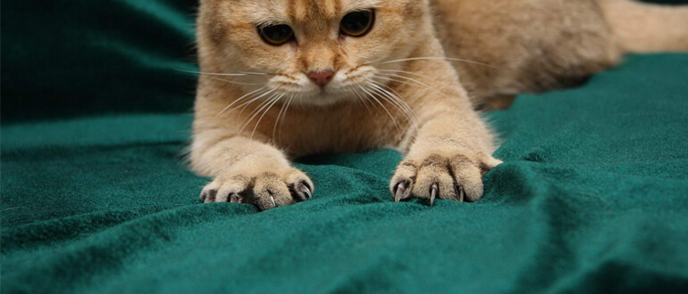 Слоятся когти у кошки