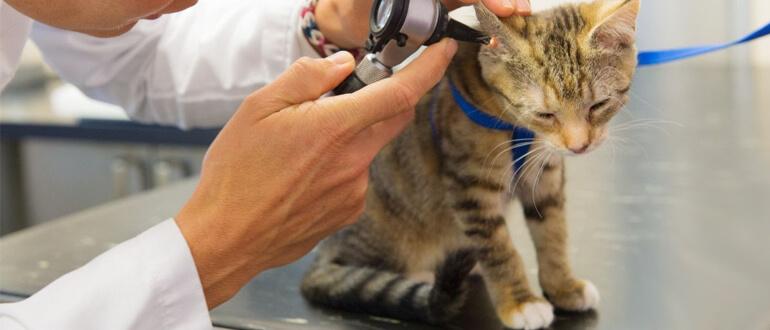 Лечение ушного клеща у котенка