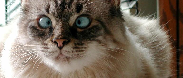 Бешенство у кошки