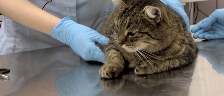 Коту удаляют когти