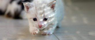 Маленький белый котенок