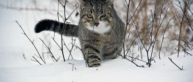 Зачем хвост кошкам