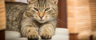 Кошка урчит