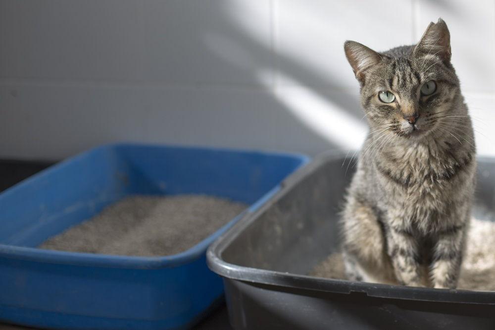 Кот ходит в туалет с кровью: причины, как лечить?