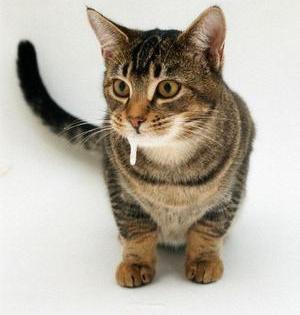 У кошки текут слюни? Что делать с необычным слюнотечением?