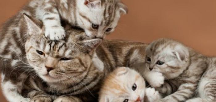 корм для шотландских котят